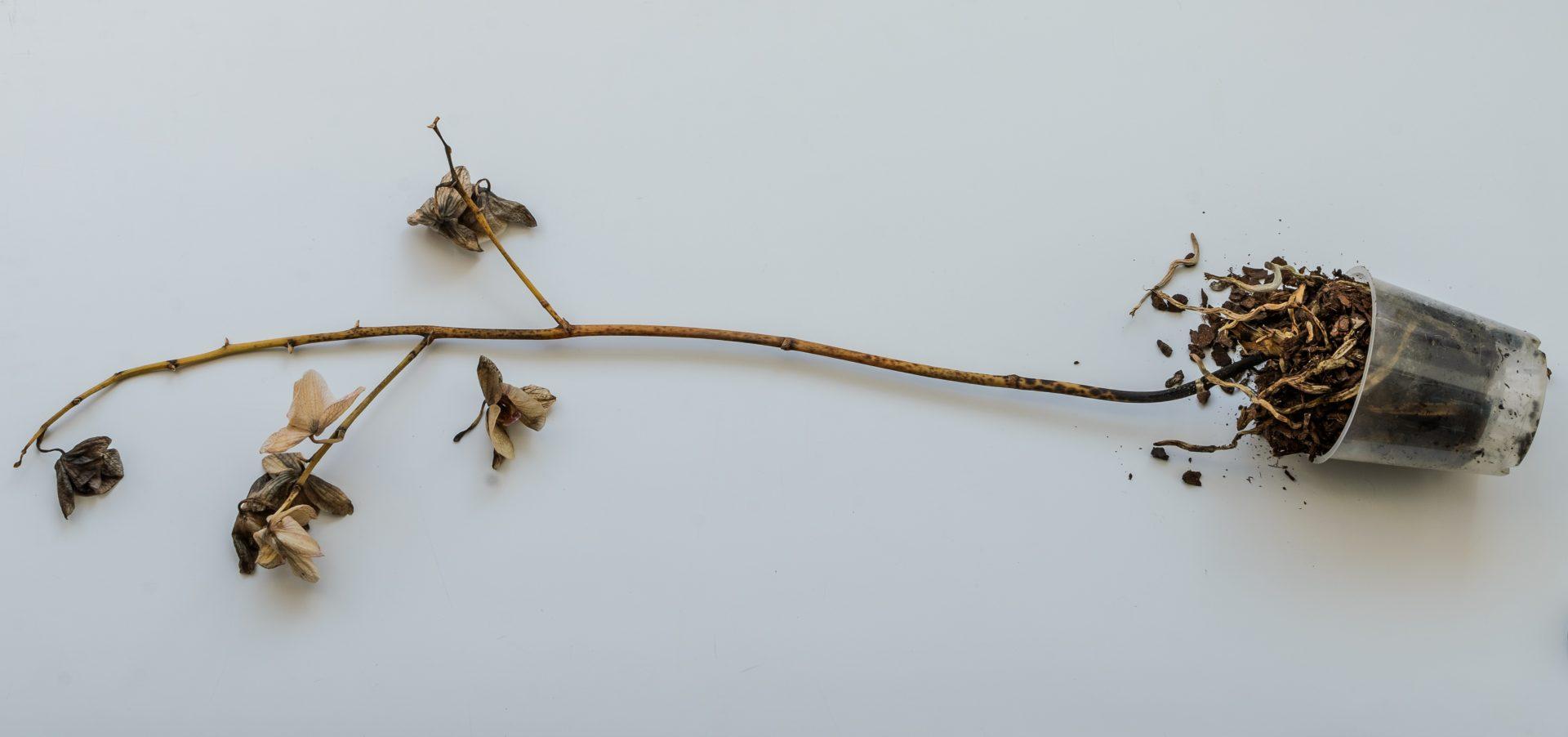 根 腐れ 蘭 胡蝶